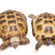 Russian or Central Asian tortoise on white — Stock Photo #49038853