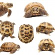 Russian or Central Asian tortoise on white — Stock Photo #49038855