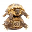 Russian or Central Asian tortoise on white — Stock Photo #49038933