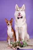 Basenji with siberian husky — Stock Photo