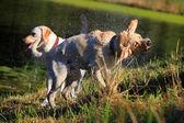 Labrador shaking off — Stock Photo