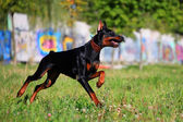 Black doberman running — Stock Photo