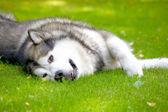 аляскинский маламут на траве — Стоковое фото