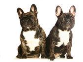 Two dark french bulldogs — Stock Photo