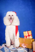 White Royal poodle on blue — Stock Photo