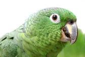 Mealy Amazon parrot on white background — Stock Photo