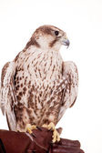 Saker Falcon isolated on white — Stock Photo