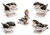 Sand Martin swallow on white — Foto Stock