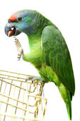 Flying festival Amazon parrot on white — Stockfoto