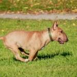 Running english miniature bull terrier — Stock Photo #49388455