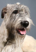 Irish Wolfhound on grey — Stock Photo