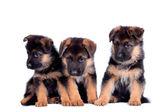 Three German shepherd puppies — Stock Photo