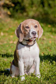 Beagle dog on green meadow — Stock Photo
