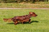 Irish Setter running — Stock Photo