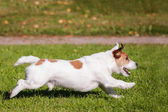 Jack Russell Terrier running outside — Stock Photo