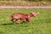 Pharaoh hound dog running — Stock Photo