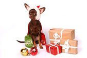 Russian toy terrier on white — Stock Photo