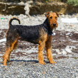 Purebred airedale terrier outdoors — Stock Photo #49402117