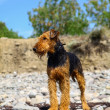 Purebred airedale terrier outdoors — Stock Photo #49401901