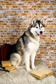 Siberian Husky with book — Stock Photo