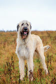 Irish Wolfhound outside — Stock Photo