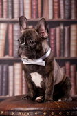 French bulldog puppy with neck bow — Stock Photo
