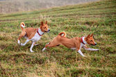 Two Basenji dogs in autumn — Stock Photo