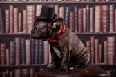 French bulldog puppy with neck bow hat in library — Stock Photo