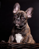 French bulldog puppy on black background — Stock Photo