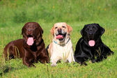 Three Labrador Retriever dogs on the grass — Stock Photo