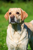 Labrador retriever dog outside — Stockfoto