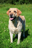 Labrador retriever dog outside — 图库照片