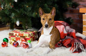 Basenji with christmas-tree decorations. — Stock Photo