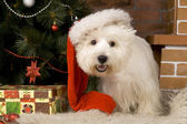 West haigland white terrier, christmas — Stock Photo