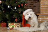 West haigland white terrier, christmas — 图库照片