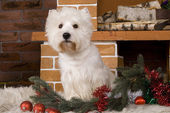 West haigland white terrier, christmas — Stok fotoğraf
