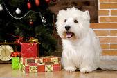 West haigland white terrier, christmas — Stock Photo