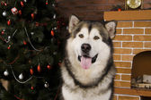 Malamute with christmas-tree decorations — Stockfoto