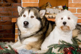 Malamute and west haigland white terrier — 图库照片