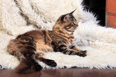 Brown Tabby Maine Coon — Stock Photo