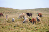 Flock of sheeps on autumn meadow — Stock Photo
