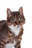 Thin adult tabby cat — Stock Photo