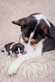 Newborn basenji puppy with mother — Stock Photo
