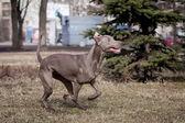 Weimaraner dog outside — Stock Photo