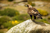 Golden Eagle (Aquila chrysaetos) perched on rock — Stock Photo