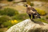 Golden Eagle (Aquila chrysaetos) perched on rock — Stock Photo