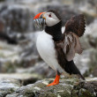 Atlantic Puffin (Fratercula arctica) with sand eels in its beak — Stock Photo #42290613