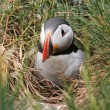 Stock Photo: Atlantic Puffin (Fratercularctica) coming out of burrow