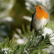 European Robin (Erithacus rubecula) in Winter snow on a pine tree. Taken at Forfar Loch, Angus, Scotland. — Stock Photo