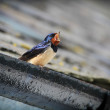 Barn Swallow calling from roof — Stock Photo